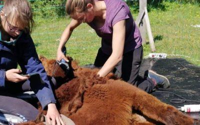 Tondeur d'Alpagas et de Lamas, un métier essentiel